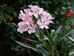 Oleander-toxic-plants-to-dogs