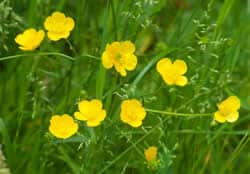 buttercup-toxic-plants-to-dogs
