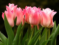 tulip-toxic-plants-to-dogs