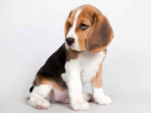 Beagle - Popular Dogs in Dubai