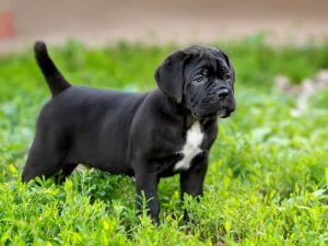Cane Corso - Popular Dogs in Dubai