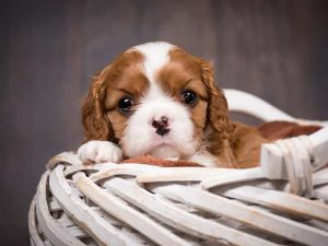 Cavalier King Charles Spaniel - Popular Dogs in Dubai