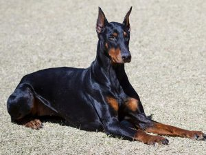 Doberman - Popular Dogs in Dubai
