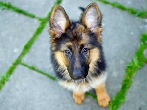 German Shepherd - Popular Dogs in Dubai