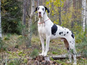 Great Dane - Popular Dogs in Dubai
