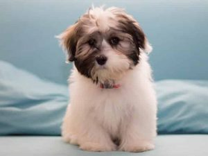 Havanese - Popular Dogs in Dubai