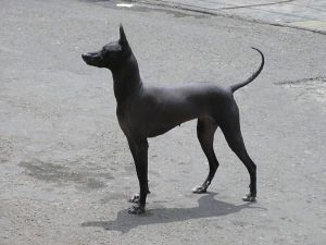 the most expensive dogs - peruvian hairless dog