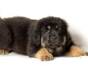 the most expensive dogs - tibetan-mastiff