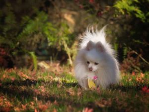 Pomeranian - Popular Dogs in Dubai