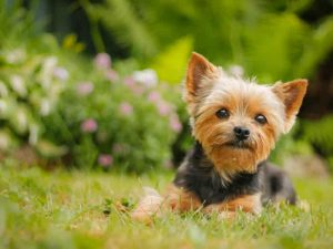 Yorkshire Terrier - Popular Dogs in Dubai