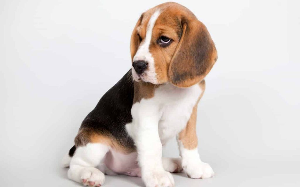 beagle-best dog breeds for retired couple