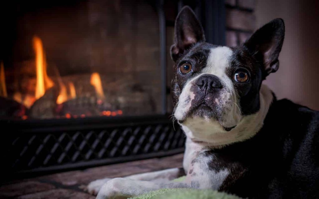 boston-terrier-best dog breeds for retired couple